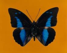 Shirana SHAHBAZI butterfly